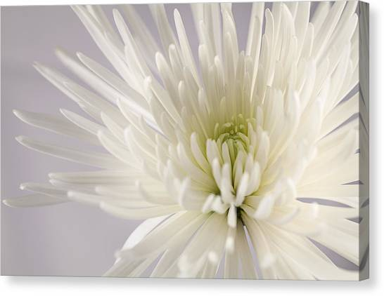 White Spider Mum On White Canvas Print