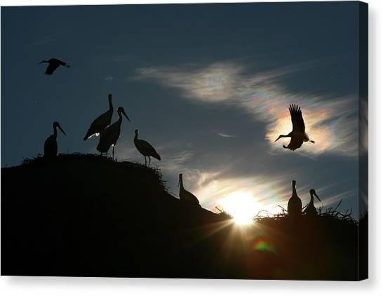 Storks Canvas Print - White Stork  Ciconia Ciconia by David Santiago Garcia