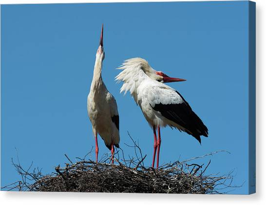 Storks Canvas Print - White Stork Courtship Display by Dr P. Marazzi/science Photo Library