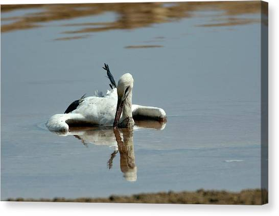 Storks Canvas Print - White Stork Drowning In The Dead Sea by Photostock-israel/science Photo Library