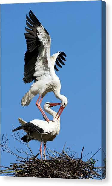 Storks Canvas Print - White Storks Courting by Bildagentur-online/mcphoto-rolfes