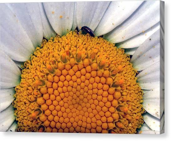 White Sunflower Canvas Print