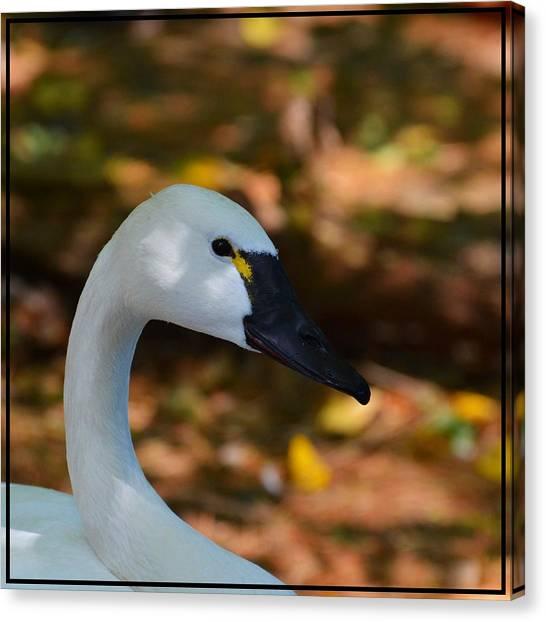 White Swan Canvas Print by Helene Dignard