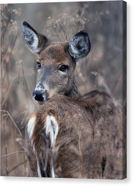 White-tail Beauty Canvas Print