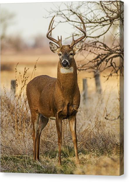 White-tail Buck Canvas Print