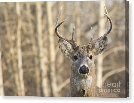 White-tailed Buck Canvas Print