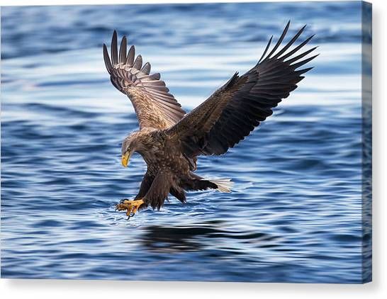 Hunt Canvas Print - White-tailed Eagle by Raymond Ren Rong