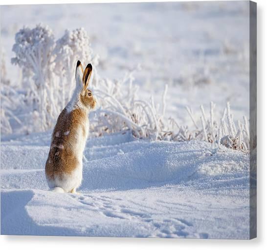 Winter Canvas Print - White-tailed Jackrabbit by Shlomo Waldmann