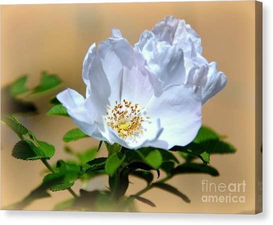 White Tea Rose Canvas Print