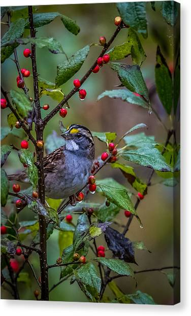 Wild Berries Canvas Print - White Throated Sparrow by Paul Freidlund