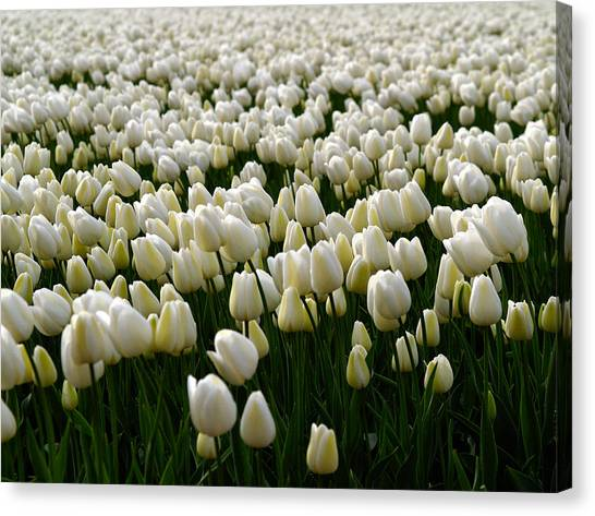 White Tulip Field  Canvas Print