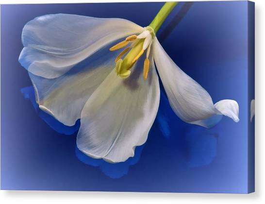 White Tulip On Blue Canvas Print