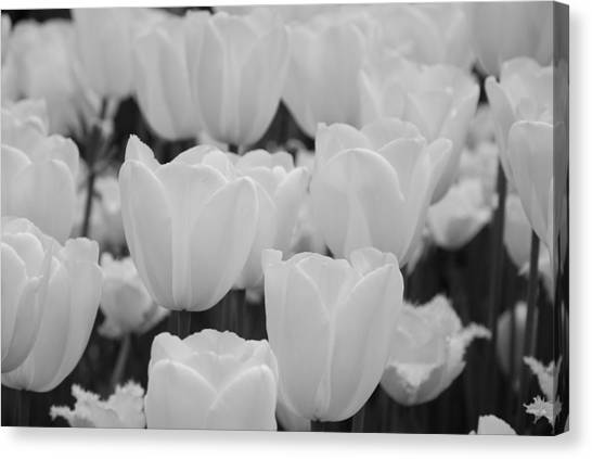 Botanical Gardens Canvas Print - White Tulips B/w by Jennifer Ancker
