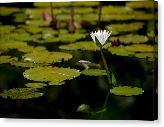 White Water Lily Uncropped Canvas Print by Julio Solar