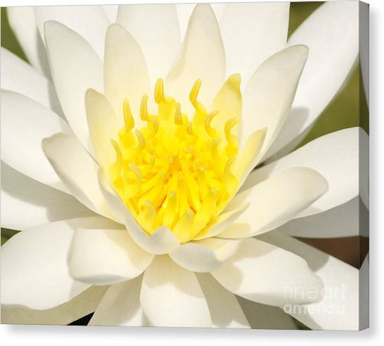 D.c. United Canvas Print - White Waterlily by Olivia Hardwicke