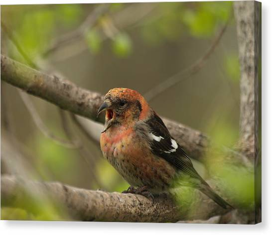 Crossbill Canvas Print - White-winged Crossbill by James Peterson