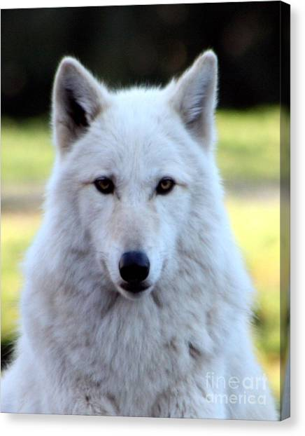 Arctic Wolf Canvas Print - White Wolf Close Up by Nick Gustafson