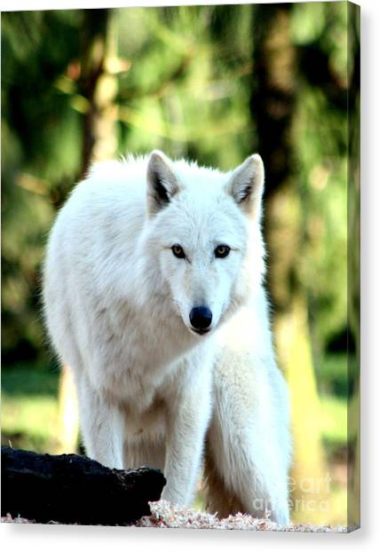 Arctic Wolf Canvas Print - White Wolf by Nick Gustafson