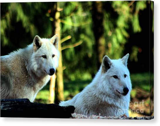 Arctic Wolf Canvas Print - White Wolves by Nick Gustafson