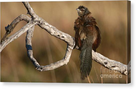 Whitebrowed Coucal Canvas Print