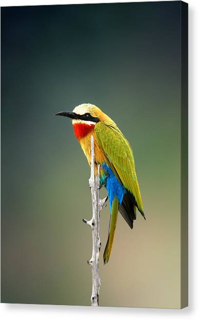 Perching Birds Canvas Print - Whitefronted Bee-eater by Johan Swanepoel