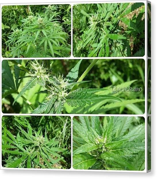 Marijuana Canvas Print - #whitelemon #moneymaker #damnesia by Purelean O