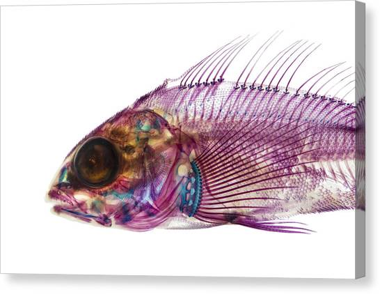 Whitespotted Greenling Canvas Print by Adam Summers