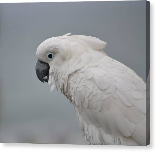 Whitest Bird Canvas Print by Kiros Berhane