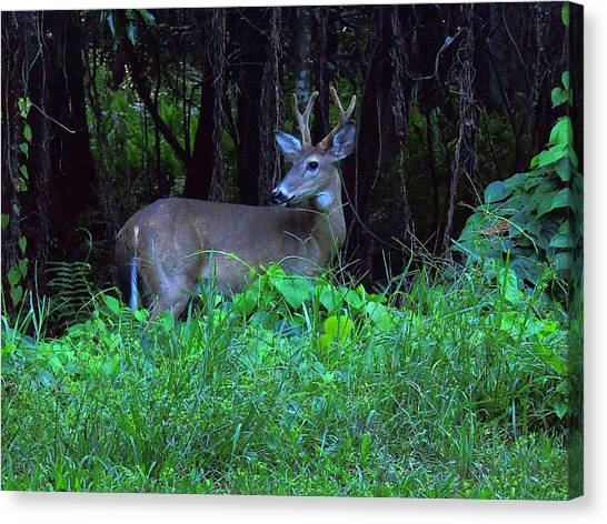Whitetail Buck 015 Canvas Print