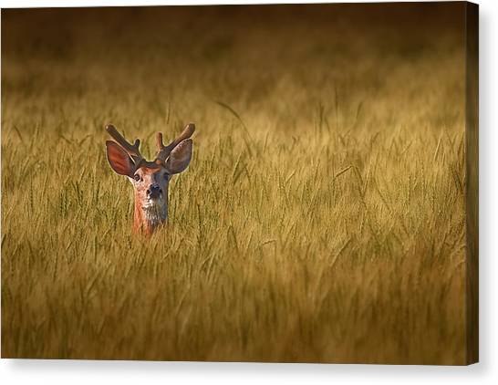 White-tailed Deer Canvas Print - Whitetail Deer In Wheat Field by Tom Mc Nemar