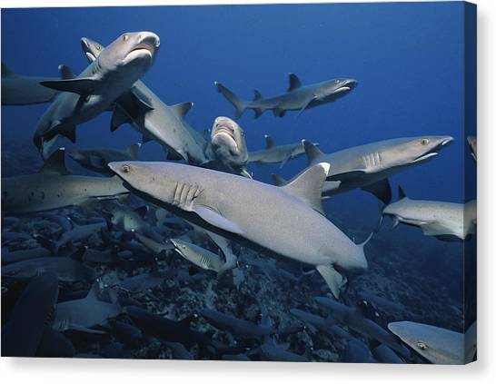 White Tip Sharks Canvas Print - Whitetip Reef Sharks by Jeff Rotman