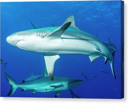 White Tip Sharks Canvas Print - Whitetip Reef Sharks Over A Reef by Louise Murray