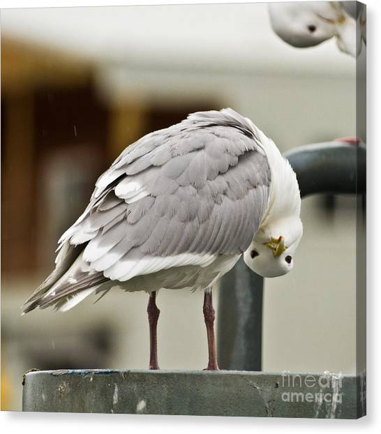 Who You Lookin At Canvas Print