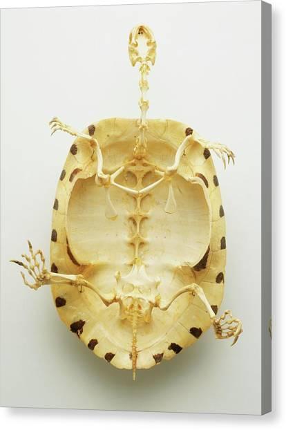 Tortoises Canvas Print - Whole Skeleton by Dorling Kindersley/uig