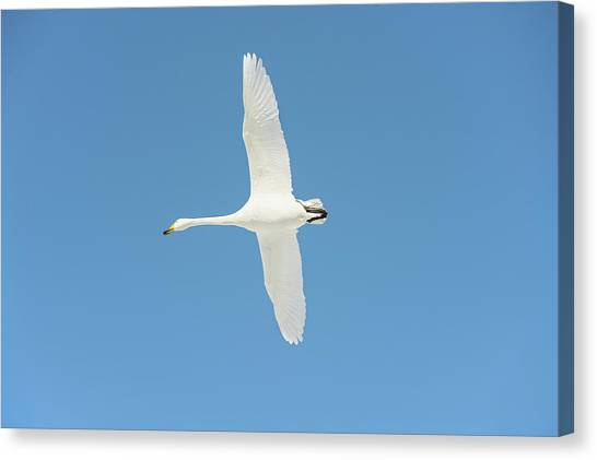 Behaviour Canvas Print - Whooper Swan In Flight by Dr P. Marazzi