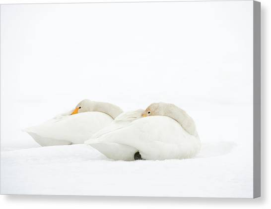 Behaviour Canvas Print - Whooper Swans Resting On Snow by Dr P. Marazzi