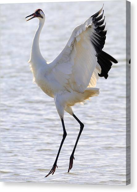 Whooping Crane - Whooping It Up Canvas Print