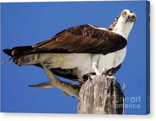 Osprey Canvas Print - Who's There by Quinn Sedam