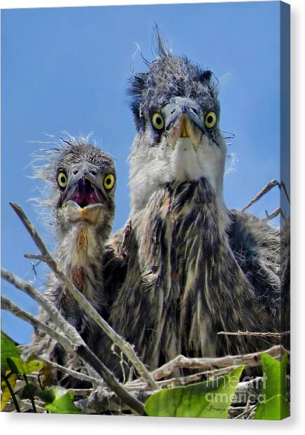 Wide Eyed Baby Herons Canvas Print