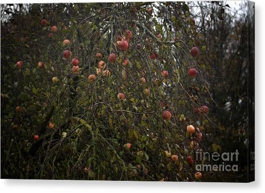 Wild Apple Tree Canvas Print by Jolanta Meskauskiene