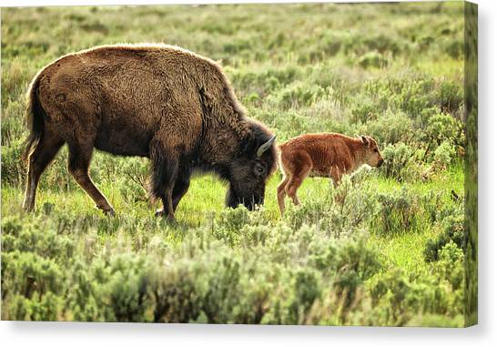 Wild Bison Cow And Calf Canvas Print by Jeff R Clow