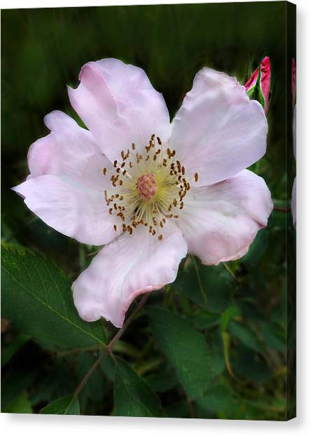 Wild Carolina Rose Canvas Print