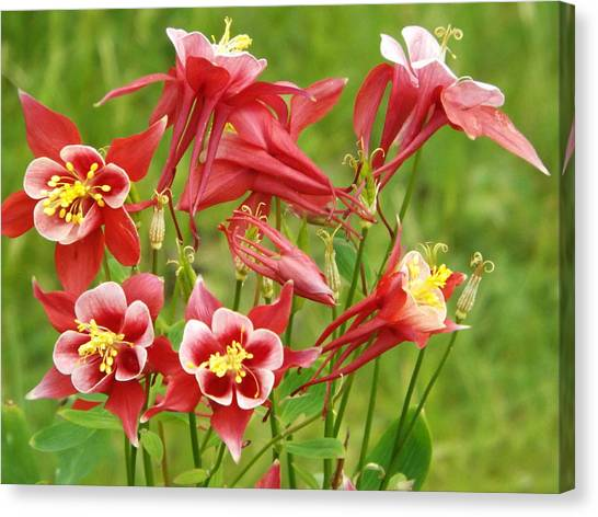 Wild Columbine 2 Canvas Print