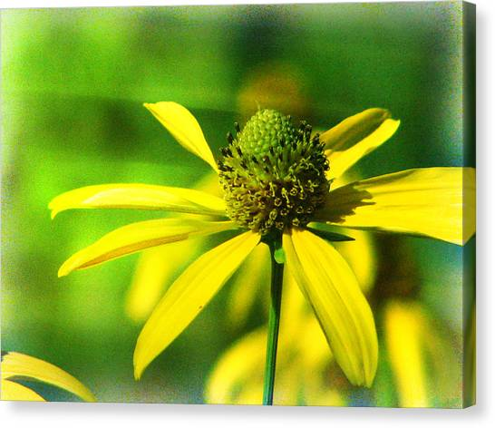 Wild Coneflower Secret Meadow Sandia Mountains Albuquerque New Mexico Canvas Print