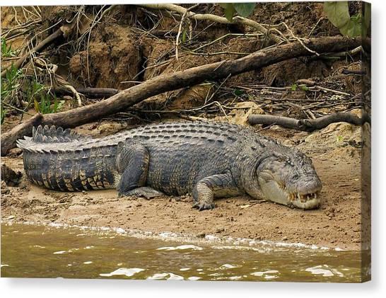 Daintree Rainforest Canvas Print - Wild Croc by Stuart Litoff