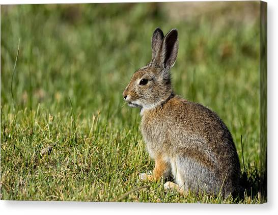 Black Rock Desert Canvas Print - Wild Desert Cottontail by Kathleen Bishop