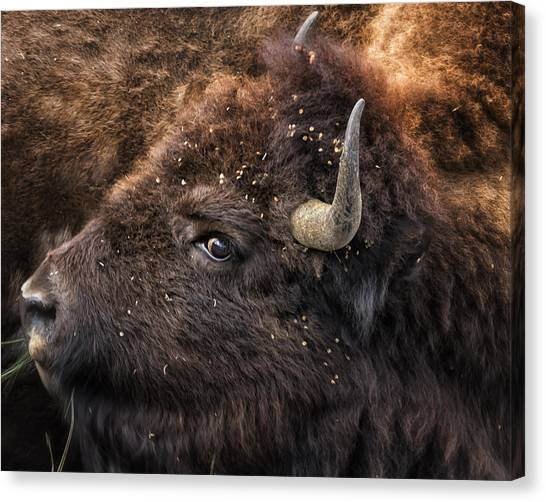 Canvas Print featuring the photograph Wild Eye - Bison - Yellowstone by Belinda Greb