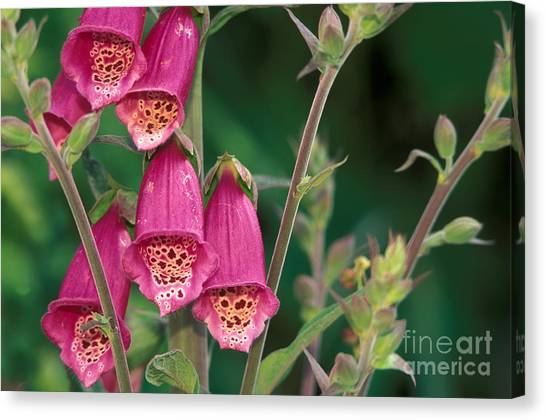 Foxglove Flowers Canvas Print - Wild Foxglove by Ron Sanford
