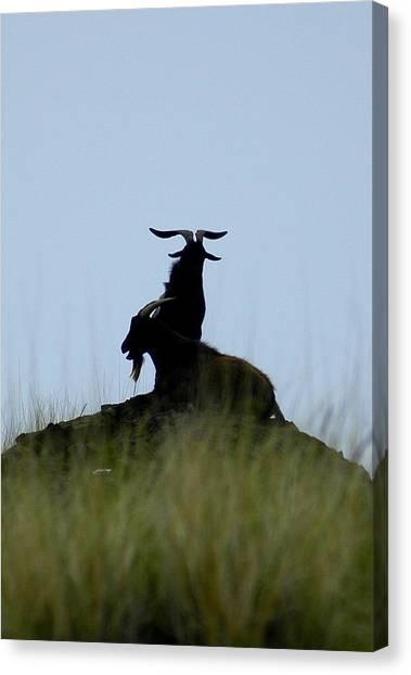 Wild Goats Of Kona Canvas Print