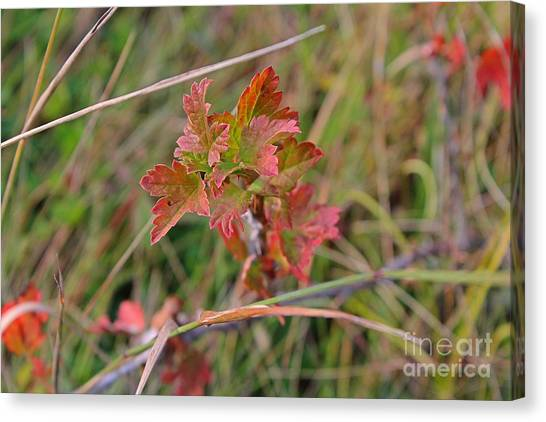 Canvas Print featuring the photograph Wild Gooseberry Leaves by Ann E Robson